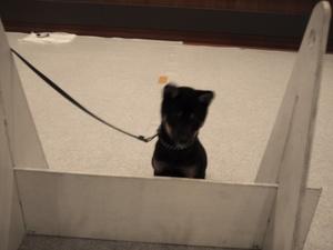 黒い柴犬 子犬 躾