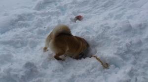 柴犬 雪遊び 穴掘り