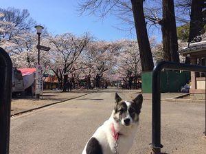犬 お花見