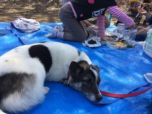 お花見 愛犬 犬とピクニック