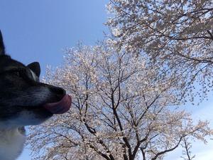 桜まつり お祭り 愛犬同伴
