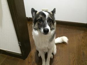 愛犬の写真 オスワリ マテ