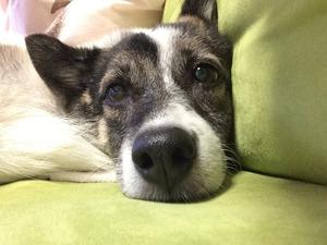 愛犬とソファで inu