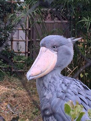ハシビロコウ 上野 動物園