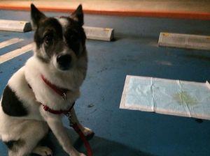 犬のトイレの始末 トイレトレーニング
