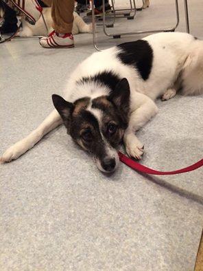 膝蓋骨脱臼 動物病院 犬