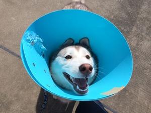 去勢手術 エリザベスカラー 犬