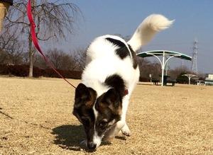 散歩させ方 引っ張る 犬