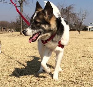 犬散歩 ハーネス 首輪