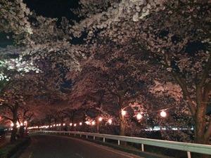 夜桜 犬連れ 夜散歩