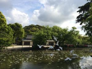 鶴岡八幡宮 白い鳩