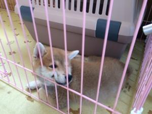 柴犬 シーバ ドッグトレーナー