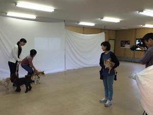 チワワスタイル モデル犬 川越
