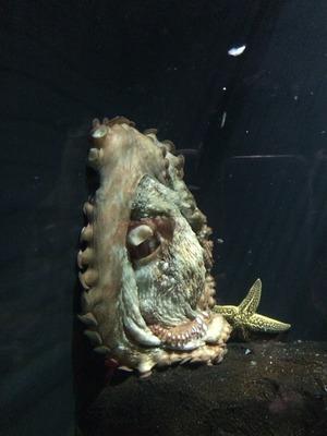 巨大タコ 水族館
