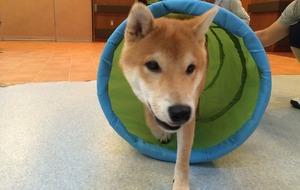 柴犬 アジリティ トレーニング