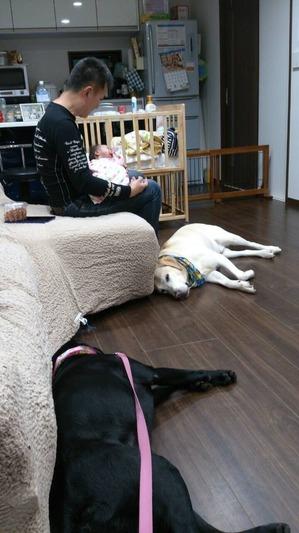 ラブラドールレトリバー 赤ちゃんと犬