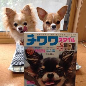チワワ しつけ 犬雑誌モデル