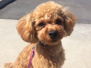 トイプードル 躾 成犬
