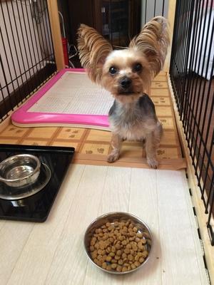 小型犬 躾 朝霞