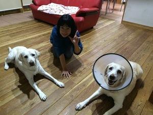 熊谷 犬のしつけ ラブラドール