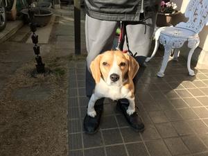ビーグル 成犬 訓練