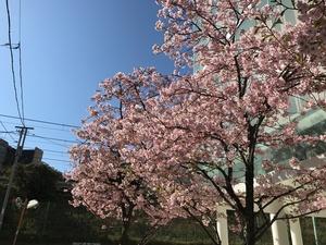 桜 早咲き
