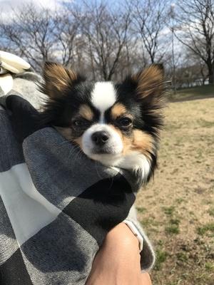 性格の良い犬 チワワ