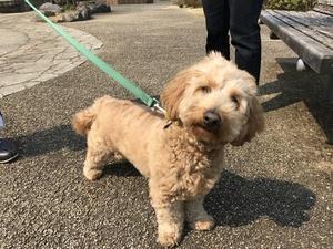 小型犬MIX オリコウな犬