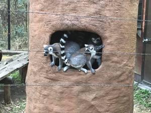ワオキツネザル こども自然動物園