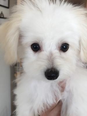 小型犬 MIX 白い犬