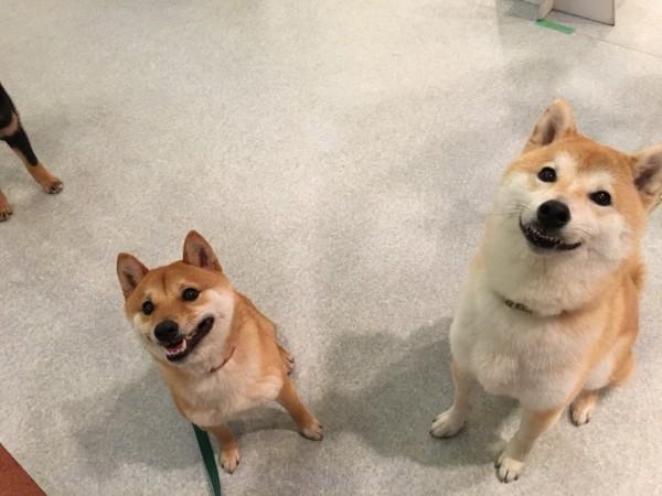 柴犬祭り!ポメMIXもね♪